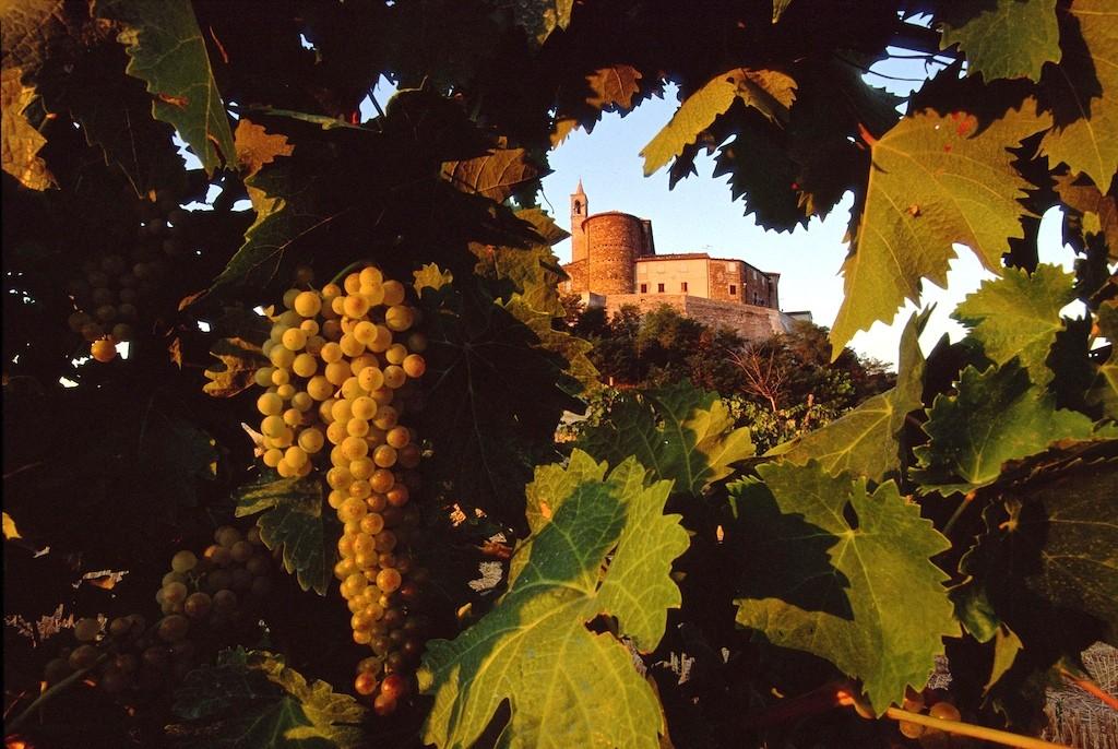 Grapevine at Sorbolongo 2 - Marche - Italy
