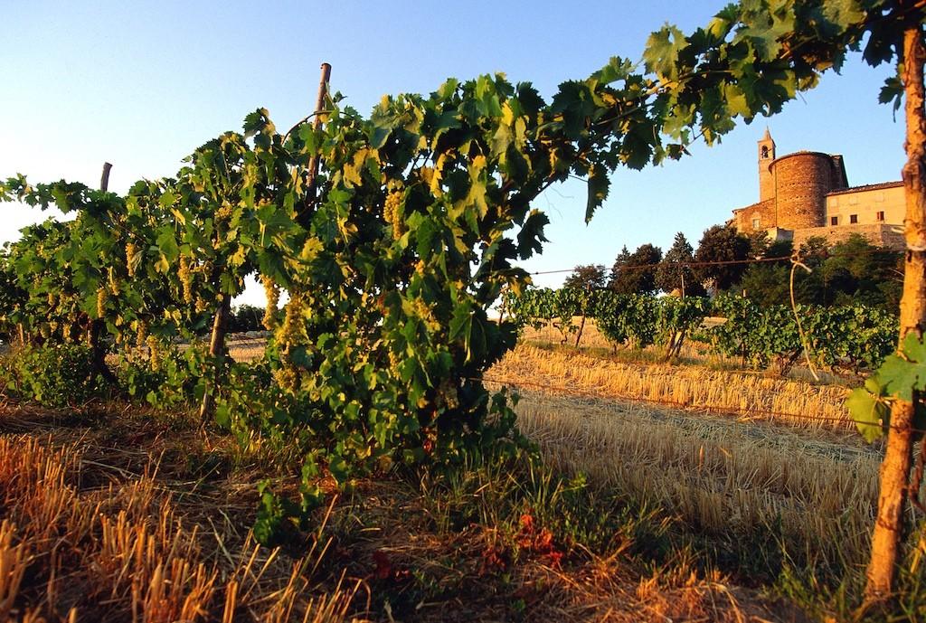 Grapevine at Sorbolongo - Marche - Italy