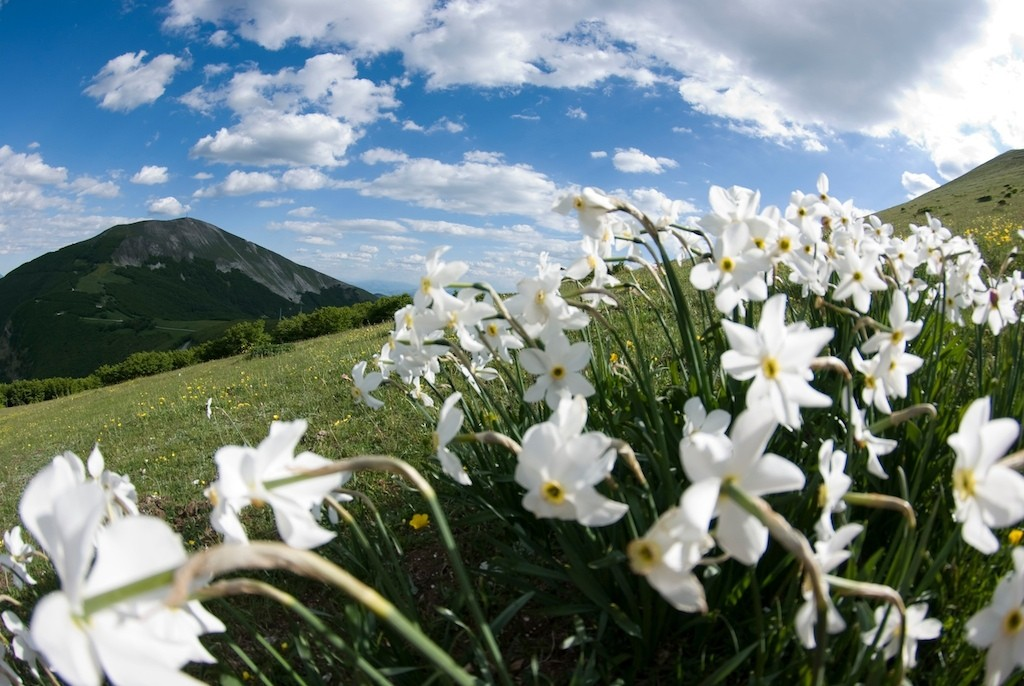 Narcissus on the hill - Marche - Italy