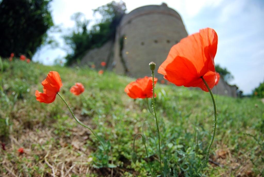Poppies - Fiorenzuola - Marche - Italy