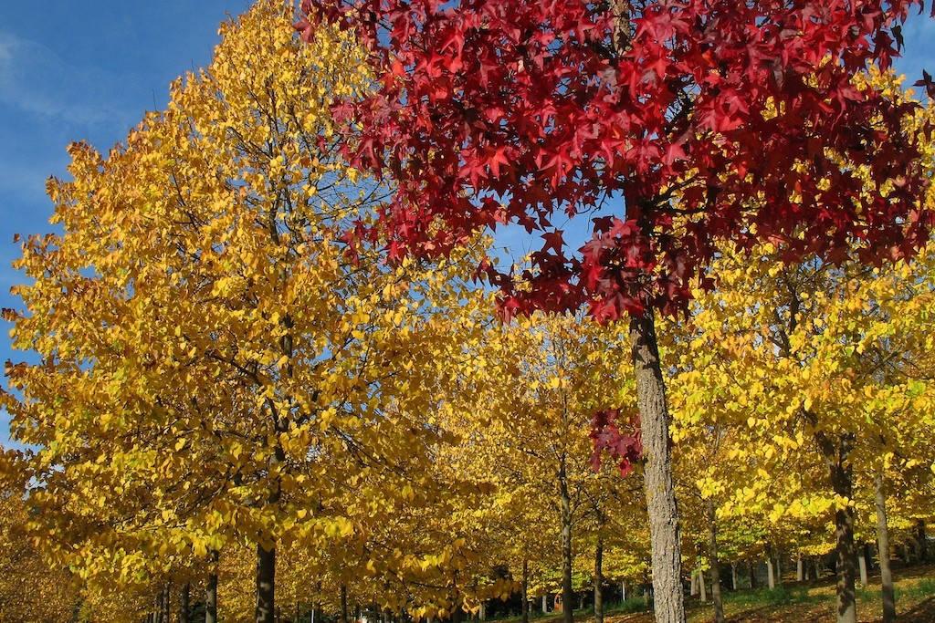 Red Maple - Furlo - Marche - Italy