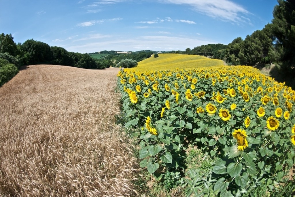 Sunflowers field - Marche - Italy