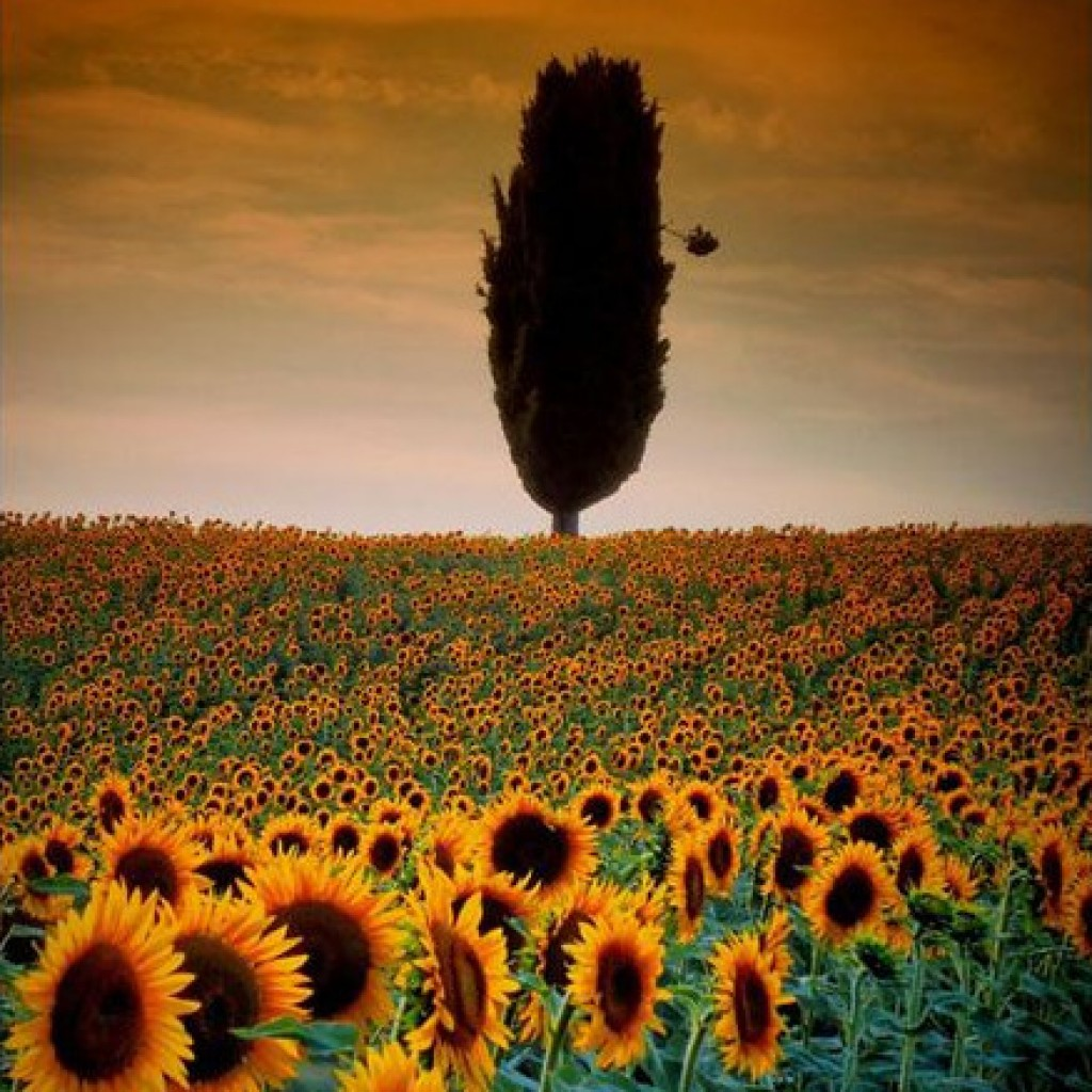 Tree in a sunflowers field - Marche - Italy