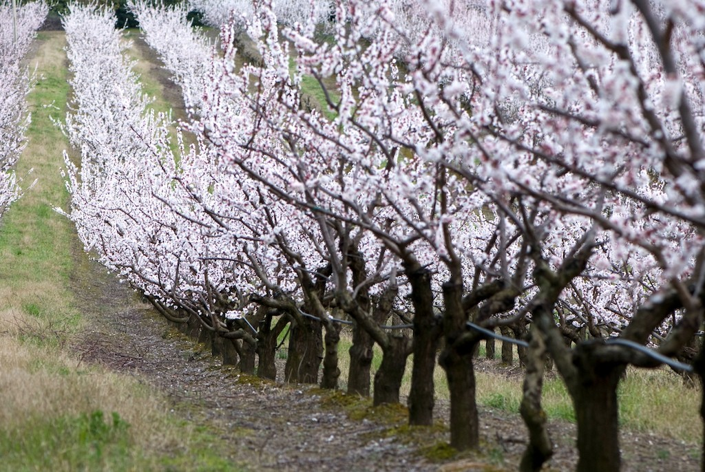 flowery peach trees - Marche - Italy